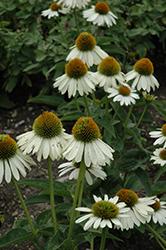 Sombrero Blanco Coneflower (Echinacea 'Balsomblanc') at Snavely's Garden Corner