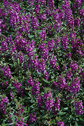 Serenita Purple Angelonia (Angelonia angustifolia 'Serenita Purple') at Snavely's Garden Corner