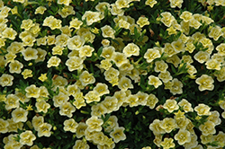 MiniFamous® Double Lemon Calibrachoa (Calibrachoa 'MiniFamous Double Lemon') at Snavely's Garden Corner