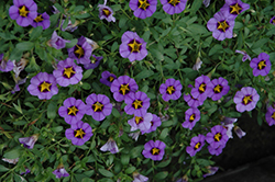 Superbells® Evening Star Calibrachoa (Calibrachoa 'Superbells Evening Star') at Snavely's Garden Corner