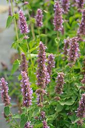 Blue Boa Hyssop (Agastache 'Blue Boa') at Snavely's Garden Corner
