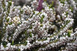Mediterranean White Heath (Erica x darleyensis 'Mediterranean White') at Snavely's Garden Corner