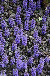 Black Scallop Bugleweed (Ajuga reptans 'Black Scallop') at Snavely's Garden Corner