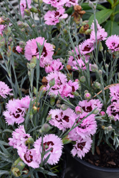 Early Bird Fizzy Pinks (Dianthus 'Wp08 Ver03') at Snavely's Garden Corner