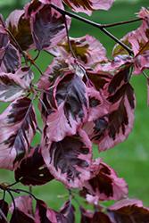 Tricolor Beech (Fagus sylvatica 'Roseomarginata') at Snavely's Garden Corner