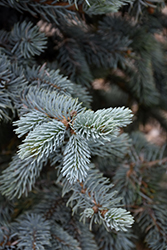 Hoopsii Blue Spruce (Picea pungens 'Hoopsii') at Snavely's Garden Corner