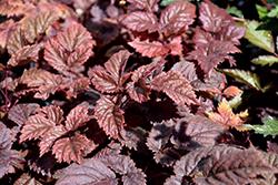 Chocolate Shogun Astilbe (Astilbe x arendsii 'Chocolate Shogun') at Snavely's Garden Corner