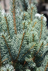 Blue Totem Spruce (Picea pungens 'Blue Totem') at Snavely's Garden Corner