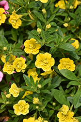 MiniFamous® Double Deep Yellow Calibrachoa (Calibrachoa 'MiniFamous Double Deep Yellow') at Snavely's Garden Corner