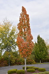 Armstrong Maple (Acer x freemanii 'Armstrong') at Snavely's Garden Corner