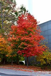 Fall Fiesta Sugar Maple (Acer saccharum 'Bailsta') at Snavely's Garden Corner
