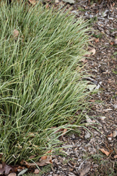 Variegated Grassy-Leaved Sweet Flag (Acorus gramineus 'Variegatus') at Snavely's Garden Corner