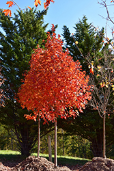 Flashfire Sugar Maple (Acer saccharum 'JFS-Caddo2') at Snavely's Garden Corner
