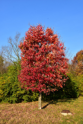Autumn Flame Red Maple (Acer rubrum 'Autumn Flame') at Snavely's Garden Corner