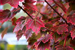 Brandywine Red Maple (Acer rubrum 'Brandywine') at Snavely's Garden Corner