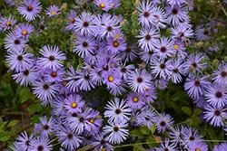 October Skies Aster (Aster oblongifolius 'October Skies') at Snavely's Garden Corner