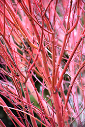 Coral Bark Japanese Maple (Acer palmatum 'Sango Kaku') at Snavely's Garden Corner