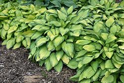 Paul's Glory Hosta (Hosta 'Paul's Glory') at Snavely's Garden Corner