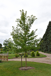 Matador™ Maple (Acer x freemanii 'Bailston') at Snavely's Garden Corner