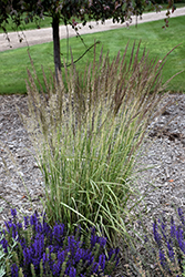 El Dorado Feather Reed Grass (Calamagrostis x acutiflora 'El Dorado') at Snavely's Garden Corner