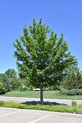 State Street Miyabe Maple (Acer miyabei 'Morton') at Snavely's Garden Corner