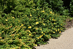 Sungold St. John's Wort (Hypericum patulum 'Sungold') at Snavely's Garden Corner