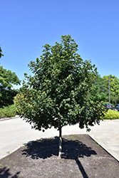 Metro Gold Hedge Maple (Acer campestre 'Panacek') at Snavely's Garden Corner