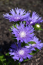 Blue Frills Aster (Stokesia laevis 'Blue Frills') at Snavely's Garden Corner