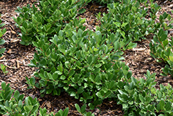 Low Scape Hedger Aronia (Aronia melanocarpa 'UCONNAM166') at Snavely's Garden Corner