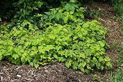 Summer Shandy Hops (Humulus lupulus 'Sumner') at Snavely's Garden Corner