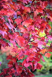 Red Maple (Acer rubrum) at Snavely's Garden Corner