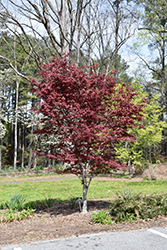 Hefner's Red Select Japanese Maple (Acer palmatum 'Hefner's Red Select') at Snavely's Garden Corner