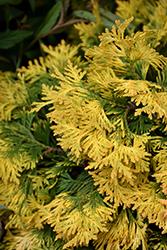 Sunkist Arborvitae (Thuja occidentalis 'Sunkist') at Snavely's Garden Corner