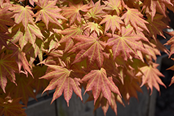 Autumn Moon Full Moon Maple (Acer shirasawanum 'Autumn Moon') at Snavely's Garden Corner