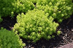 Lemon Coral Stonecrop (Sedum rupestre 'Lemon Coral') at Snavely's Garden Corner