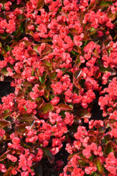 Doublet Red Begonia (Begonia 'Doublet Red') at Snavely's Garden Corner
