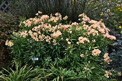 Inca Ice Alstroemeria (Alstroemeria 'Koice') at Snavely's Garden Corner