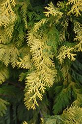 Cripps Gold Falsecypress (Chamaecyparis obtusa 'Crippsii') at Snavely's Garden Corner