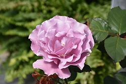 Angel Face Rose (Rosa 'Angel Face') at Snavely's Garden Corner