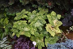 Spotty Dotty Asian Mayapple (Podophyllum 'Spotty Dotty') at Snavely's Garden Corner