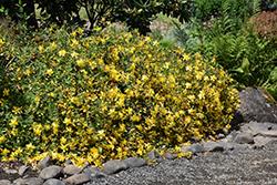 Hidcote St. John's Wort (Hypericum 'Hidcote') at Snavely's Garden Corner
