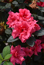 Encore Autumn Rouge Azalea (Rhododendron 'Conlea') at Snavely's Garden Corner