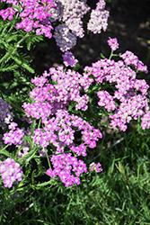Firefly Amethyst Yarrow (Achillea 'Firefly Amethyst') at Snavely's Garden Corner
