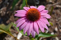 Prairie Splendor Coneflower (Echinacea purpurea 'Prairie Splendor') at Snavely's Garden Corner