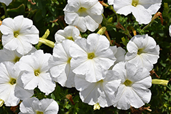 Madness White Petunia (Petunia 'Madness White') at Snavely's Garden Corner